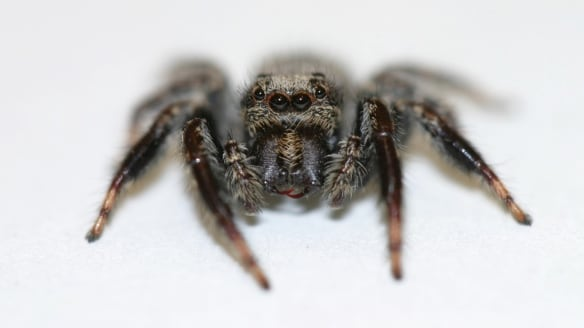Why female Australian jumping spiders only mate once