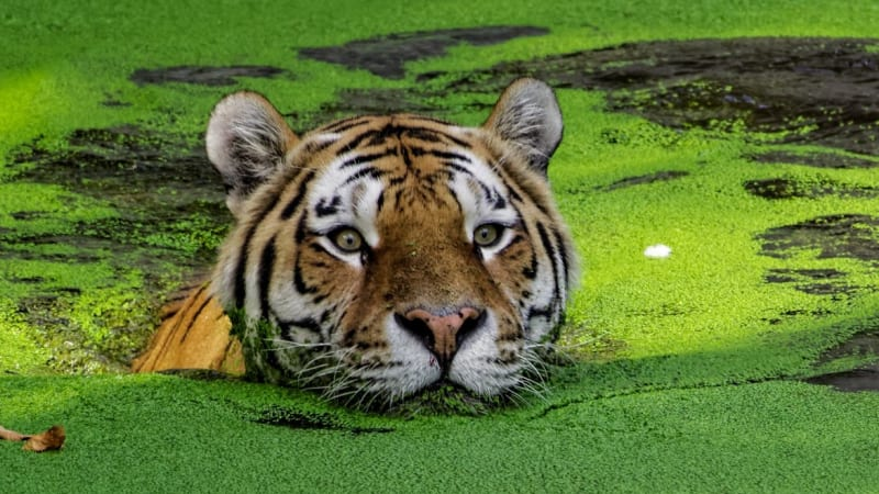 Wild tiger population could treble if action taken, scientists say