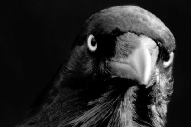 Crows May Be As Intelligent As Apes Scientists Say