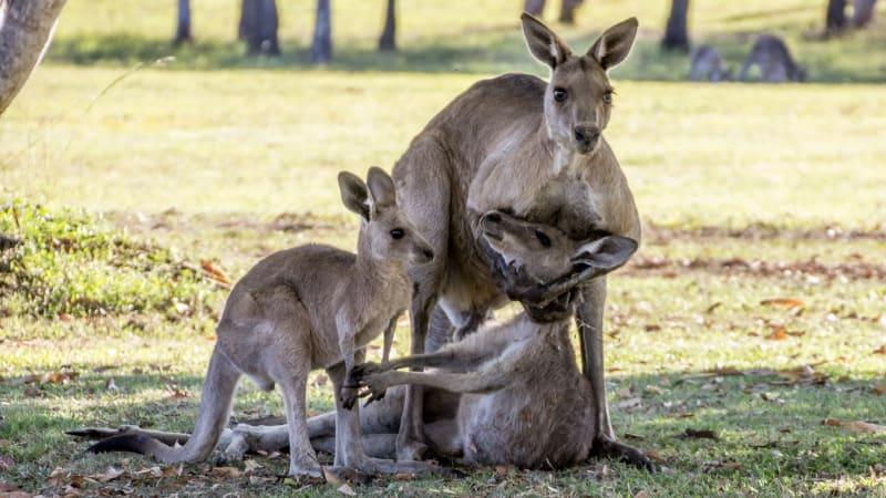 Kangaroo photos 'fundamentally misinterpreted': wildlife expert