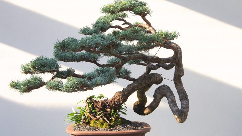 gardening lessons from a bonsai master. Black Bedroom Furniture Sets. Home Design Ideas