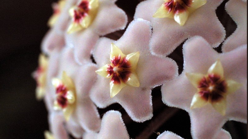 Gardening Secrets Of The Hoya Fragrant Fairy Disco Ball