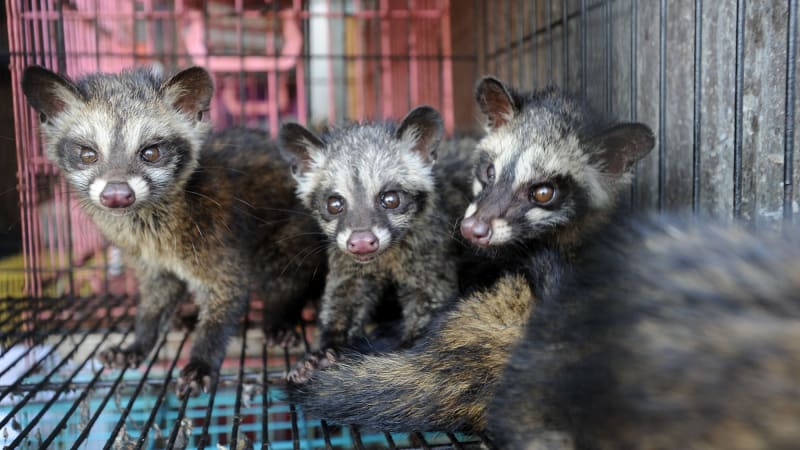Famous faeces: the story behind the civet-poo coffee craze