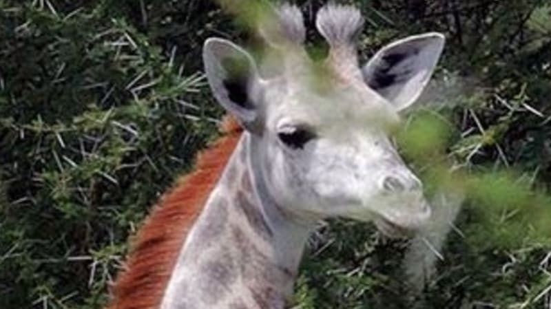 Rare white giraffe seen in Tanzania could be target for poachers