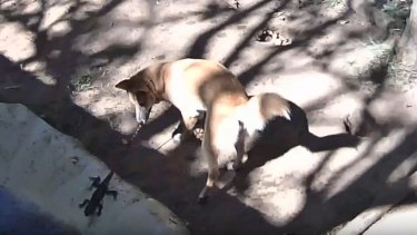 A water dragon made the mistake of jumping into the dingo puppies' exhibit.