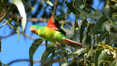Habitat loss from land clearing under the EPBC Act is a leading cause of native species decline in Australia, including the critically endangered swift parrot