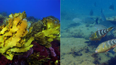 The kelp forest off Western Australia was badly affected by a marine heatwave in 2011, as these before and after images show.