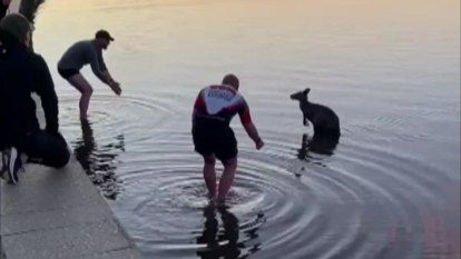 Kangaroo pulled from Canberra lake in viral video euthanised by vet