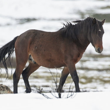 A brumby by the Snowy Mountains Highway near Kiandra, NSW, earlier this month.