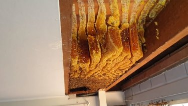 Fifty kilograms of honey and 60,000 bees were found inside the roof of a Bracken Ridge home.
