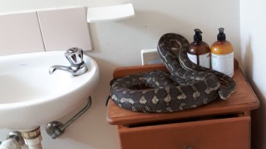 A large carpet python was found in an Indooroopilly bathroom.