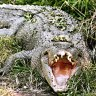 Victim poked crocodile in eye to get away
