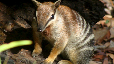 Industry groups are warning against weakening environment protections for wildlife. Endangered numbats are under threat from feral animals and habitat loss.