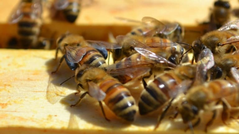 More than 150,000 bees are living across four hives at the West Village development at West End.