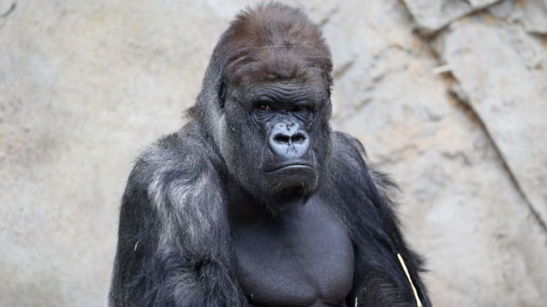 Kibabu in his enclosure at Taronga Zoo before retiring to Mogo Zoo on the NSW south coast.