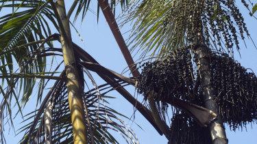 Açaí (Euterpe oleracea) palms in Brazil.