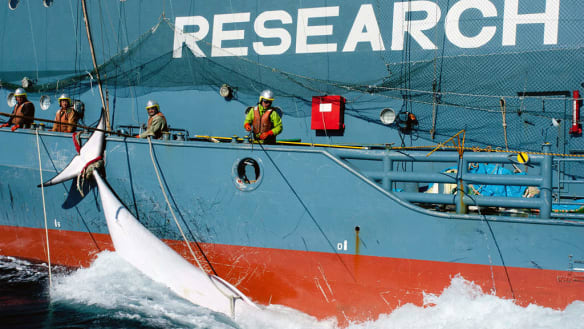 Japan slaughtered 122 pregnant whales to prove they were fertile