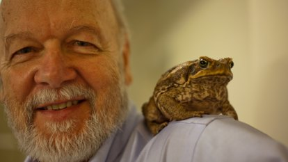 'Sperm wars': Queensland cane toads have much bigger testes than in NSW
