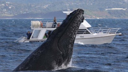Boat noise cramping the style of whales looking for love