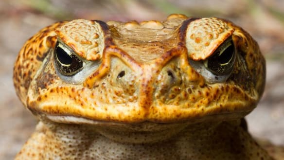 The Queensland scientist turning cane toads into cannibals