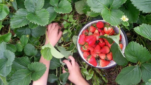 Strawberry needle scandal: Where to #pickapunnet in Perth