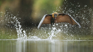 The grey-headed flying fox drinks by swooping low over the water, skimming the surface with its belly and chest.