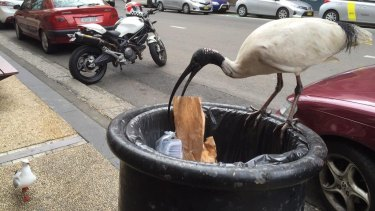 "A long way from an Egyptian temple -  ""bin chickens"" are now a fixture of most Australian cities."