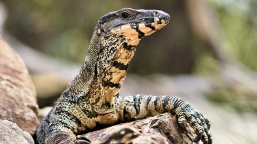 A goanna is not always welcome indoors.