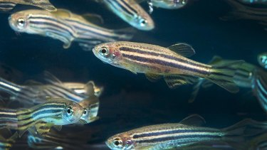 UQ researchers have used zebrafish to gain insight into why some people with autism and other conditions are sensitive to sound.