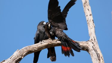 Black cockatoo numbers were stable this year.