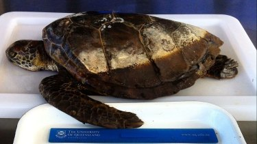 This juvenile green sea turtle died after eating 13 pieces of single-use shopping bags, balloons and lolly wrappers.