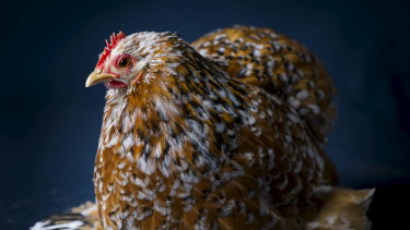Being chicken about investment markets doesn't pay.
