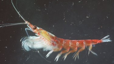 A photo of the tiny sea creature krill.