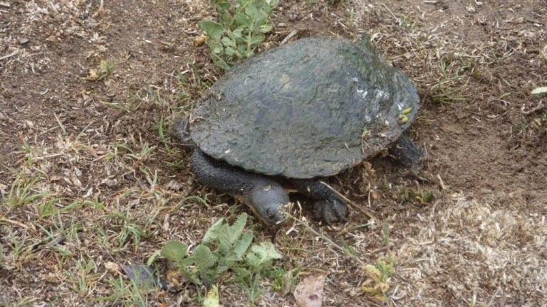 One of the turtles Celia Kneen has found on the block at Holder and which she says she is helping to protect.
