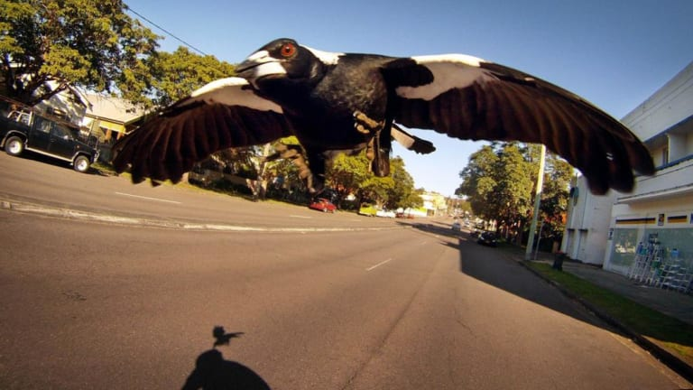 Magpie attack on cyclist along Lambton road,  New Lambton.