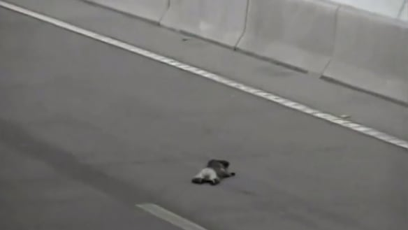 Video shows injured koala's 'avoidable' death in tunnel