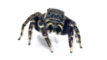 Jotus karllagerfeldi, a new type of brushed jumping spider discovered in Queensland