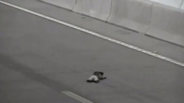 An injured koala is seen stuck on the St Helena tunnel moments before it is run over by a truck.