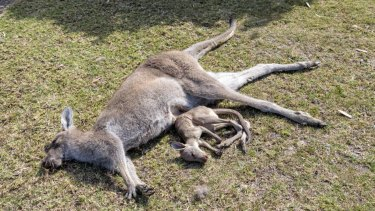 A dead kangaroo and its dead joey after the attack.
