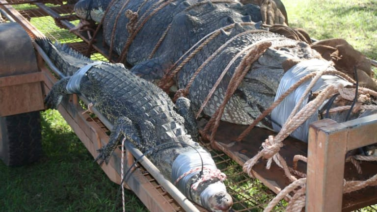 Rangers captured two crocodiles today, the second 'baby' croc still being more than two metres long.