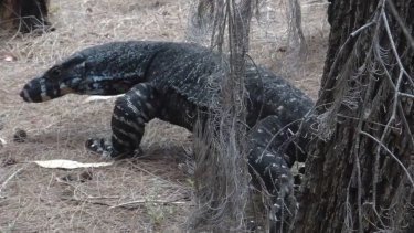FILE IMAGE: The goanna latched onto the man's right arm and leg and bit the woman's leg.
