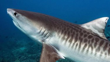A Griffith University study has found tiger shark numbers have declined by more than 70 per cent in Queensland waters over the past three decades.