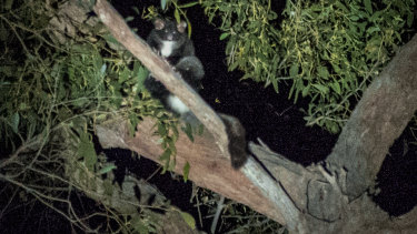 A greater glider in a tree at Stony Creek coupe.