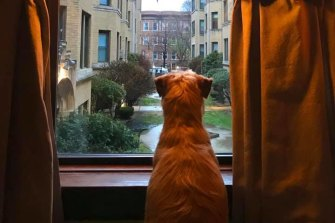 The scene through a window in Chicago, USA, attracts the interest of a pet dog.