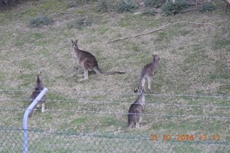 The family mob of kangaroos.