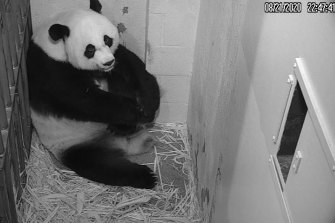 Peering at a birthing panda on my iPhone is also a much-needed reminder that even if we have to experience most of it on our phones, life rolls on.
