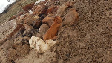 Just some of the estimated 300,000 cattle killed in the north-west Queensland floods.