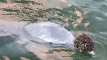 One of the dolphins at Tin Can Bay carries a gift on its nose.