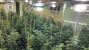 Police have seized more than 400 cannabis plants from a Bibra Lake home that had been converted into an elaborate grow-house setup.