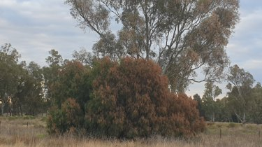 Evidence of spray drift on the sides of the trees on the road between Narromine and Warren in early May.
